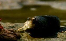 Mudskipper (TLOTL)