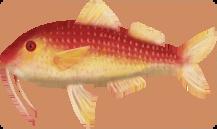 Fish Roman