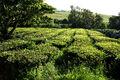 Plantação de Chá Gorreana, Camellia sinensis, Ribeira Grande, ilha de São Miguel, Açores.jpg