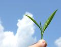 Organic mountain grown tea leaf.jpg