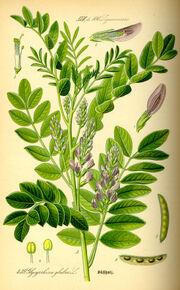 Illustration Glycyrrhiza glabra0