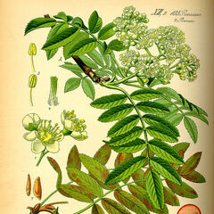 Vogelbeerenpflanze.