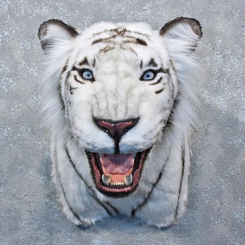 File:Reproduction-white-tiger-taxidermy-mount- 11202-for-sale- -the-taxidermy-store.jpg