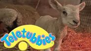 Teletubbies Lambs - HD Video