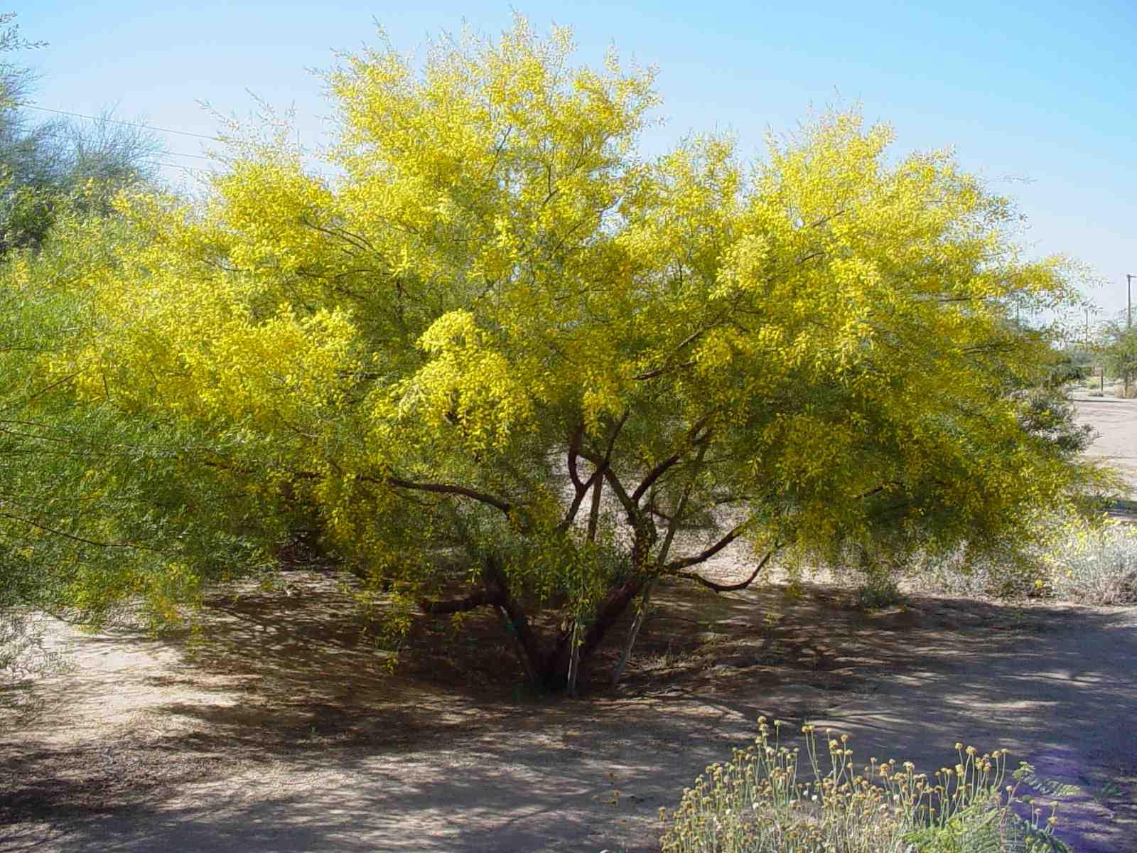 Acacia tempora harmony of seasons wiki fandom powered by wikia acacia mightylinksfo