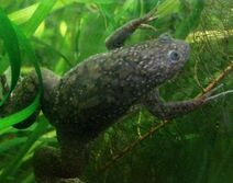 African clawed frog7