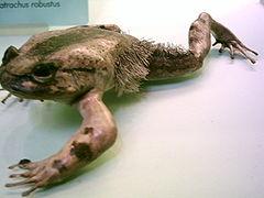 240px-Trichobatrachus robustus