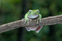 Whites tree frog 2