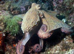 Octopodiformes