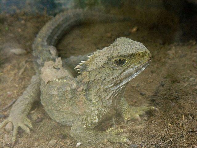 File:Sphenodontidae.jpg
