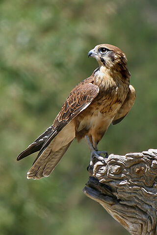 File:Falconiformes.jpg