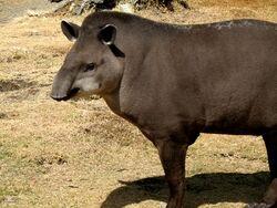 Tapiridae