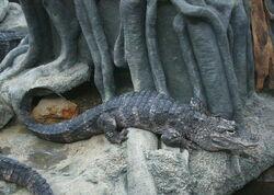 Alligatoridae