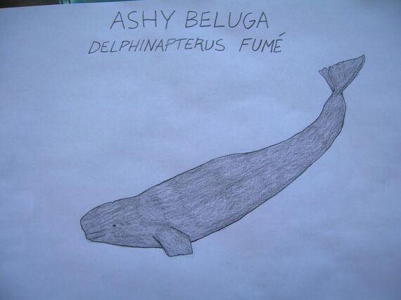 Ashy Beluga