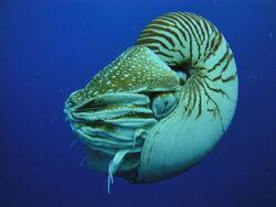 Nautilidae