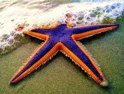 File:Royal Starfish.jpg
