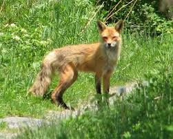 File:A. Red Fox Summer Coat.jpg