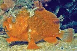 Prickly Anglerfish