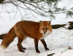 File:A. Red Fox Winter Coat.jpg