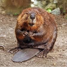 File:N.America Beaver.jpg