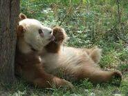 Qinling Panda2