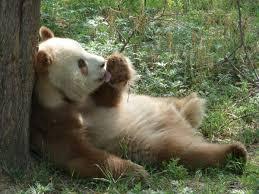 File:Qinling Panda2.jpg