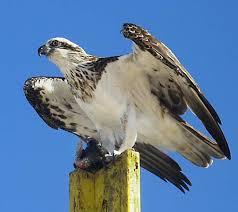 File:Osprey.jpg