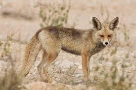 File:Arabian Red Fox.jpg