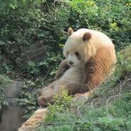 Qinling Panda3
