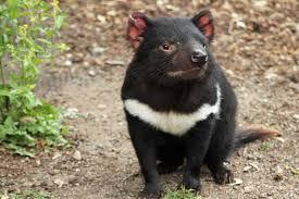 File:Tasmanian Devil.jpg