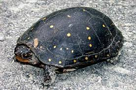 File:Yellow-bellied mud turtle.jpg
