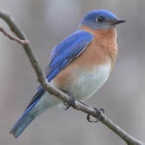 File:Blue Bird.jpg