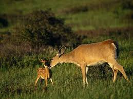 File:Female and fawn white tailed deer.jpg