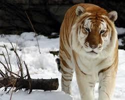 Golden Tiger(1)