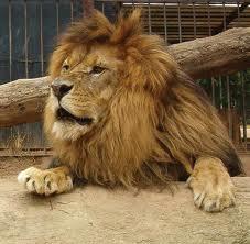 File:Barbary Lion.jpg