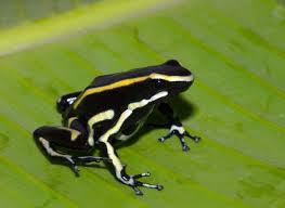 File:Yellow Striped Poison Frog.jpg