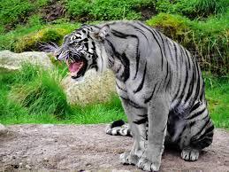 File:Maltese Tiger.jpg