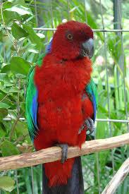 File:Crimson Shining Parrot.jpg