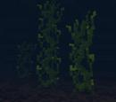 Swamp Kelp