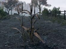 800px-Wheat plant