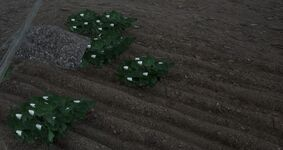 Planted cotton seeds