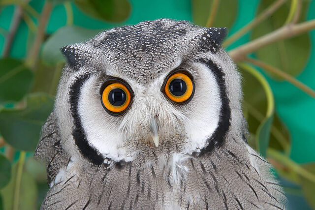 File:Owl southern white faced.jpg