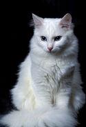 Turkish-angora-cats-kittens-1