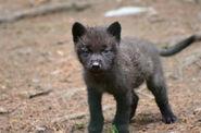 Black-Wolf-Cub