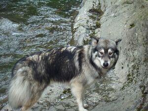 Husky3
