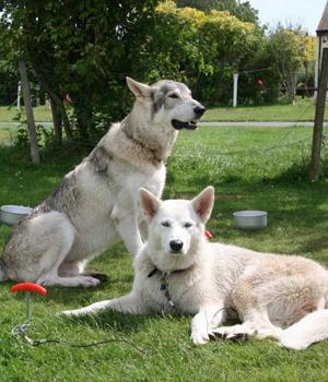 File:Northern-Inuit-Dog-2.jpg