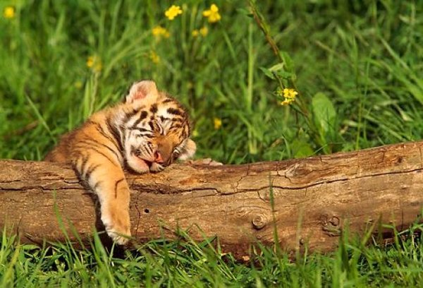 Image cute tiger cub sleeping on a logg the fantasy odyssey cute tiger cub sleeping on a logg thecheapjerseys Image collections