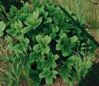 Bush lush