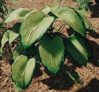 Bush hosta variegated
