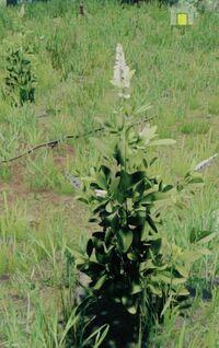 Bush whiteflower